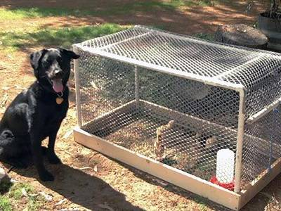 Chicken wire is attached onto the wooden frame. Several chicks in the cage and a dog outside of the cage.