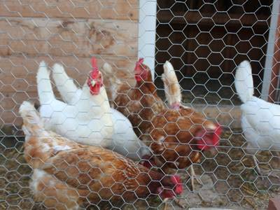 Chicken wire is surrounding the chicken pen and several chickens in it.
