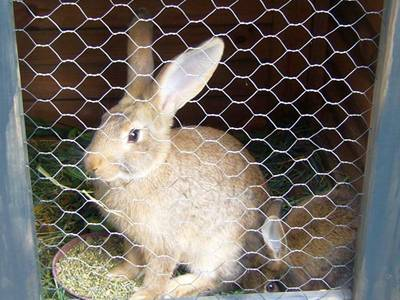Two rabbit in the chicken wire netting.