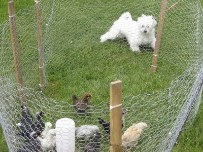 Garden fence is installed on the ground and several chickens in and a dog out.