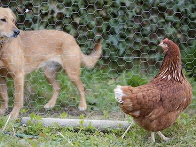 The hexagonal wire mesh rolls are separating a chicken and a dog.