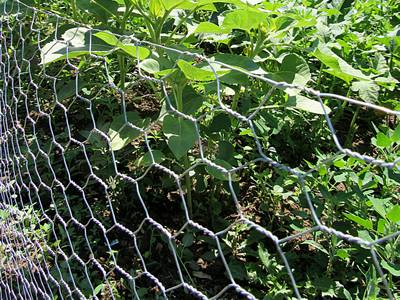 The hexagonal wire mesh rolls are installed surrounding the vegetables in the garden.